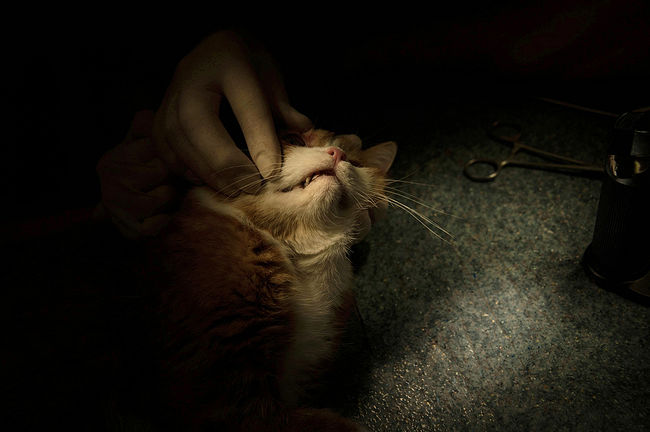 A veterinarian examines a cat before an eye operation.